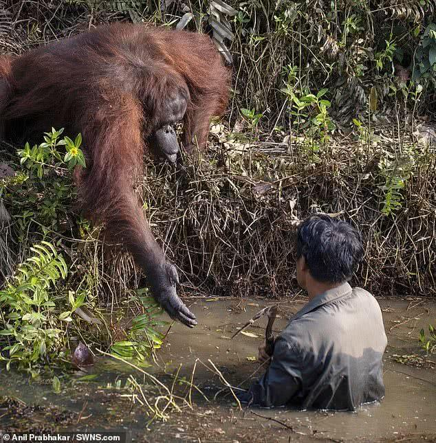 男子在河中清理东西,猩猩以为对方受困伸出手搭救