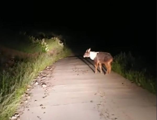 """头像羊、尾像驴、角像鹿、蹄像牛 """"四不像""""再度出没"""