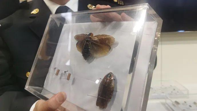 头皮发麻!蟑螂竟被偷运入境当宠物,还卖100元一只