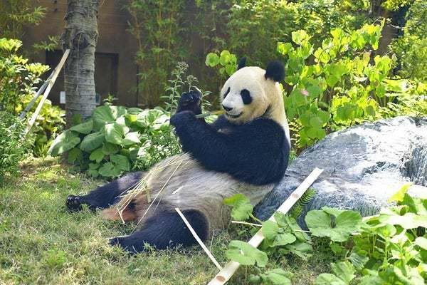 """日本动物园熊猫""""真真""""疑怀孕,周边餐厅股价暴涨"""