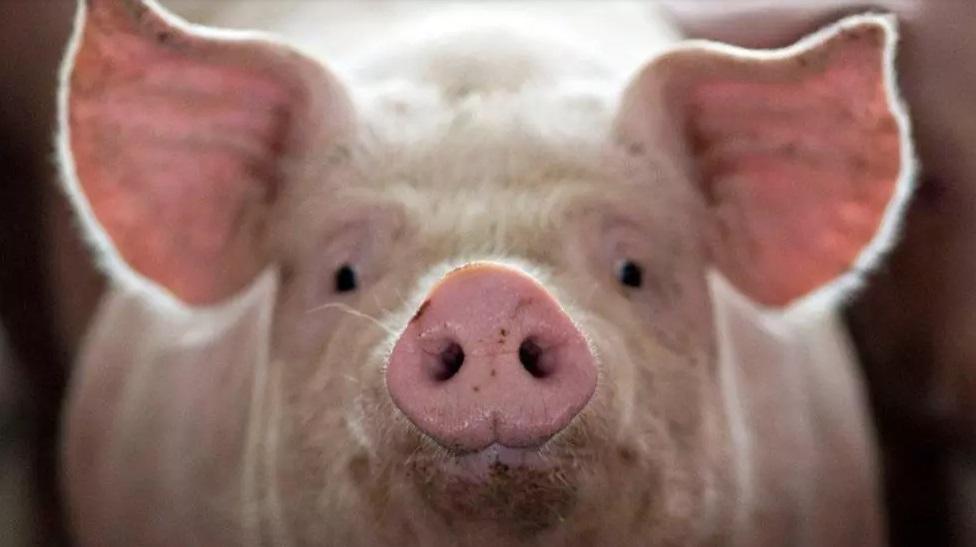 """""""猪坚强""""已进弥留状态 只在须臾 一只""""正能量""""的猪"""
