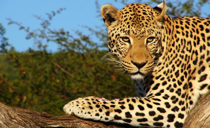 leopardo botswana