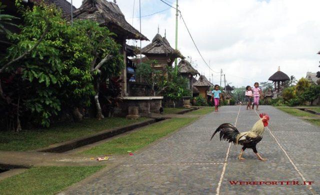 Gallo per strada