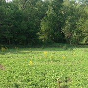 Clover and Chicory Seed Field