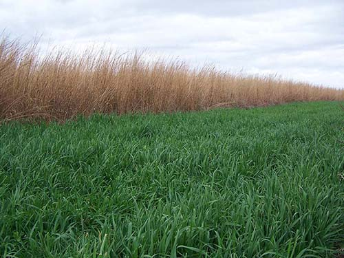 Whitetail Forage Oats Field