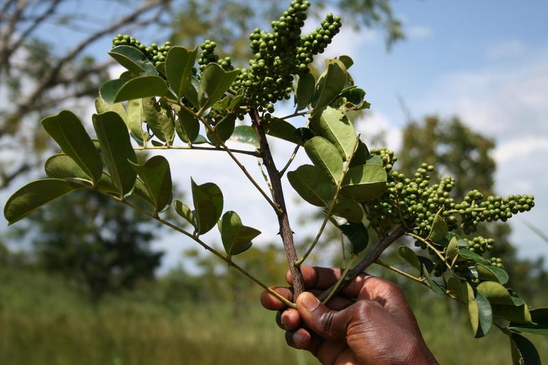 Zanthoxylum zanthoxyloides of the plant kingdom family Rutaceae