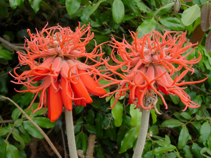 East African Plants  A Photo Guide  Erythrina abyssinica