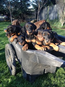 Socialized_Doberman_Puppies_For_Sale_San_Jose_CA_AKC_European_West_Coast