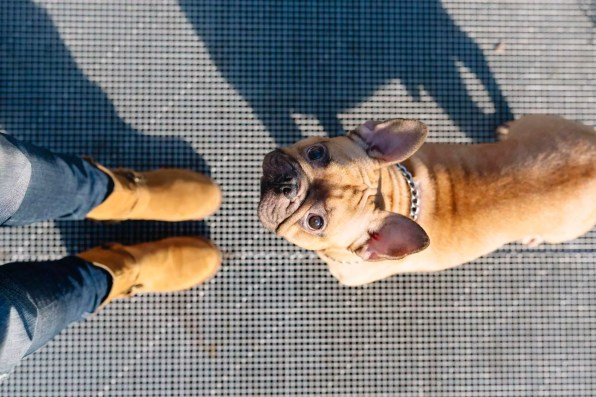 Portrait of French bulldog looking up to owner