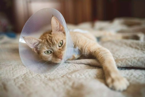 Portrait of cat with Elizabethan collar lying on bed