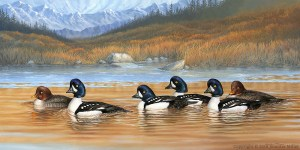 "Jennifer Miller ""Along the Gilded Shore"" (Barrow's Goldeneyes) 18x36 acrylic $3,500."