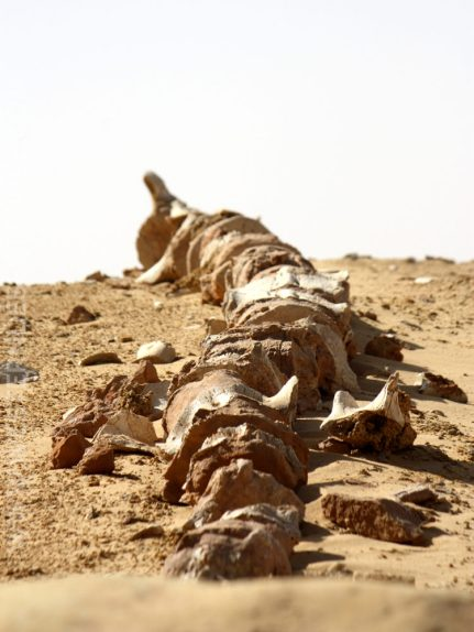 Close-up of a whale skeleton in the Wadi al-Hitan UNESCO World Heritage Site