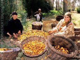 Date harvest in Siwa Oasis