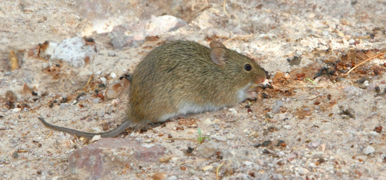 Arizona Rodents - Common Types - Ask Mr. Little