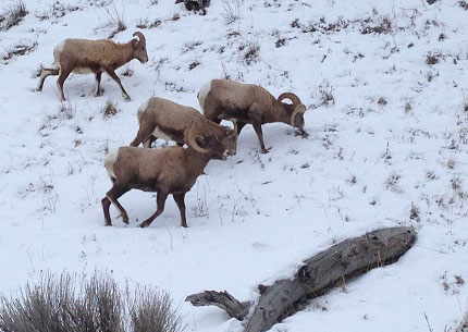 big-horn-sheep