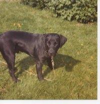 Max our black Labrador