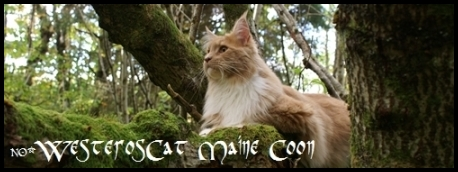 Westeros Maine Coon