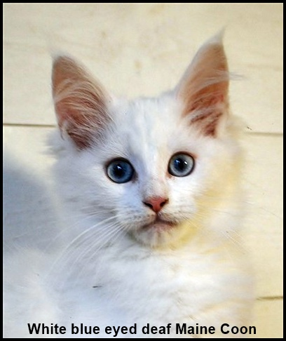 White blue eyed Wws