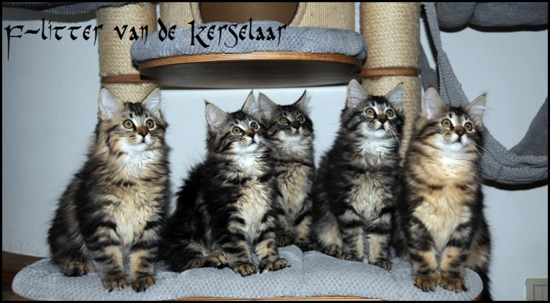 Five F-kittens Van de Kerselaar