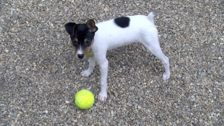 Dale is a 3-month old rat terrier mix. PHOTO BY PATTY STOCKER