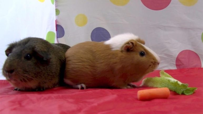 Meet Acorn and Butternut, a snuggly guinea pig duo, available now for adoption at the Lowell Humane Society. PHOTO BY PATTY STOCKER