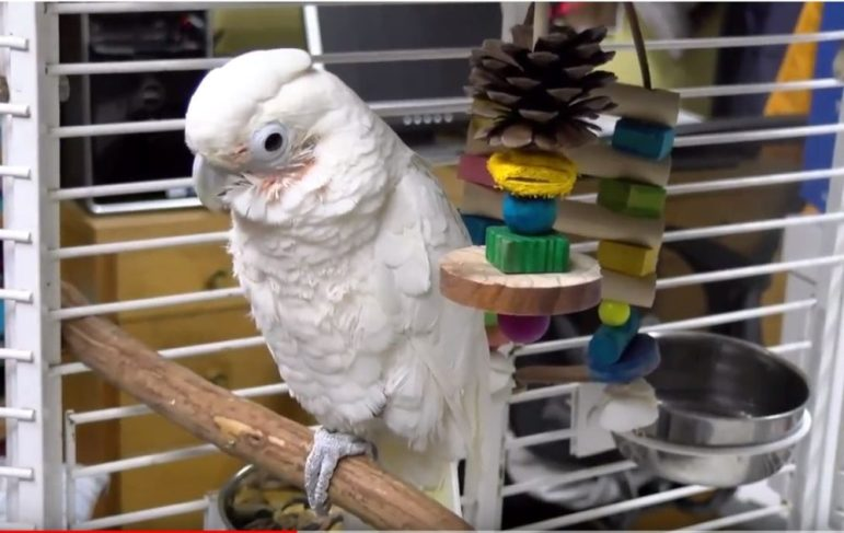 Casper the cockatoo. PHOTO BY PATTY STOCKER