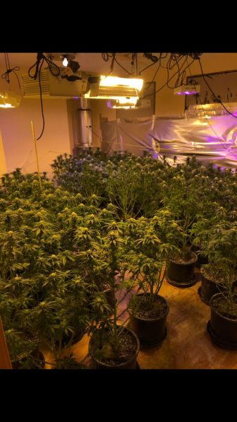 Found inside the four houses were growing marijuana plants, packaged marijuana, and paraphernalia used to grow the plants, according to police. COURTESY PHOTO