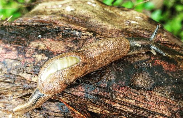 2 new cases of rat lungworm contracted on Big Isle ...