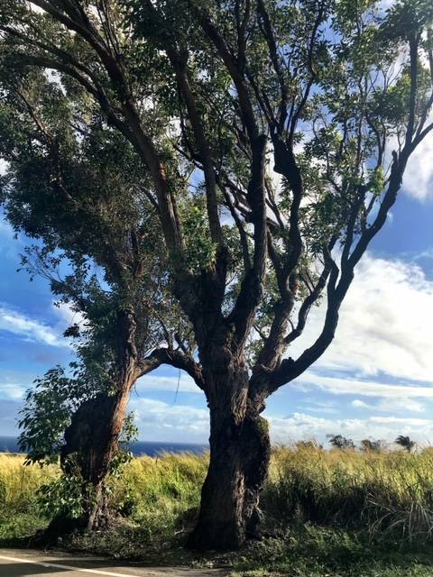 Island Life: Twisty trees