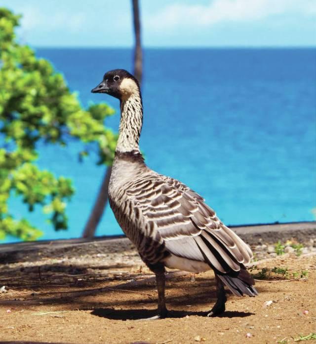 Island Life: Don't feed the nene