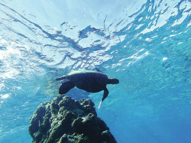 Island Life: Honu from below