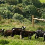 Photograph of Balwen Sheep on Kilkhampton Common
