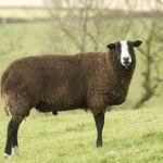 Photograph of Zwartble Sheep