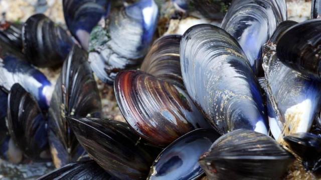 Blue mussels. Credit: Sue Adams Photography/Shutterstock.com