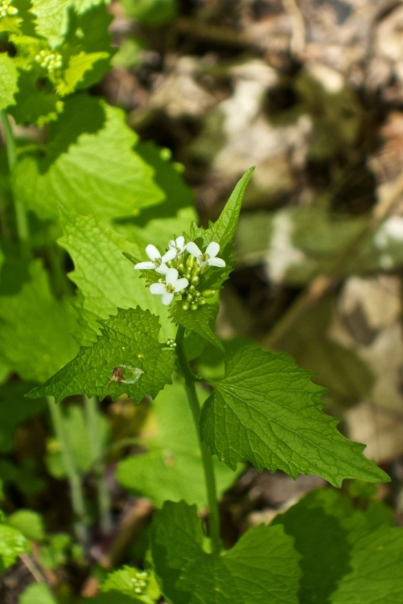 Garlic mustard in flower this May.