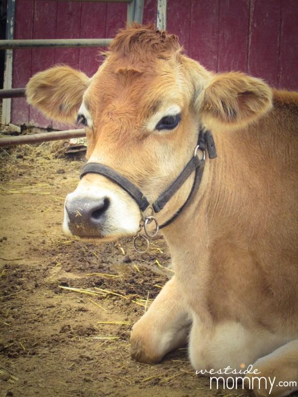 Brown cow at Centennial Farm