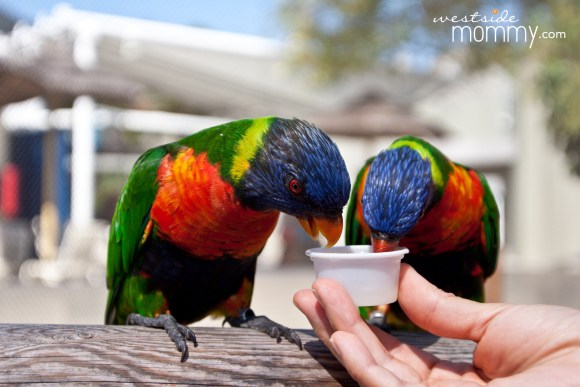 WSM_AOP_Lorikeets copy