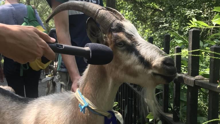 the goat vote