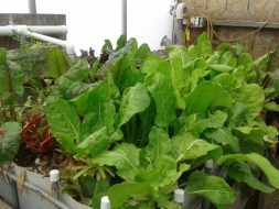 Swiss Chard - The Healthiest Vegetable You have Never Eaten