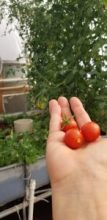 aquaponically grown cherry tomatoes  organic lifestyles - recipes
