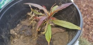 Plant of the week - Dwarf Peaches