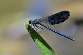 Mosquitoes - dragonfly control