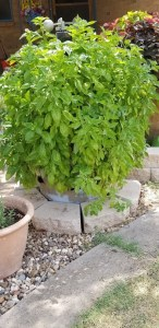 Plant of the week - basil