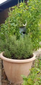 Plant of the Week - ROsemary