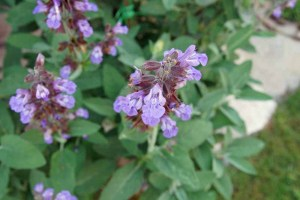 Plant of the Week - Culinary Sage