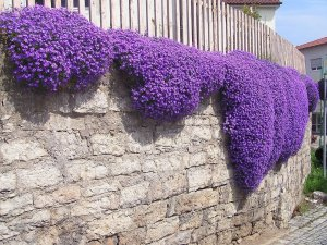 Creeping thyme on a wall