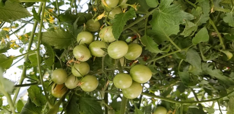 Tomatoes in west texas - sweet 100 cherry tomatoes on the vine