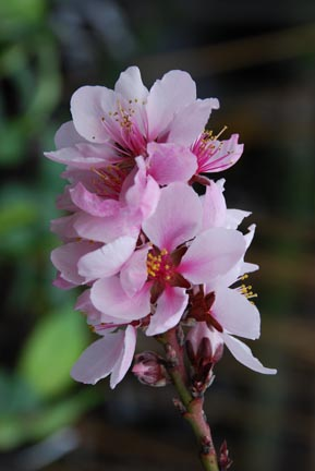 Fruit Trees - Years to Fruit - Peach Blossoms
