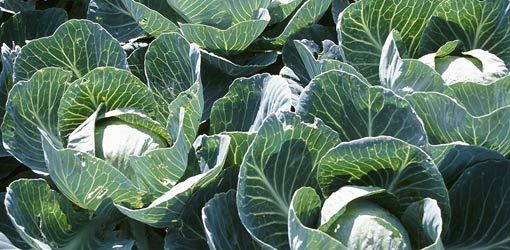 Fall Planting Guide - cabbages
