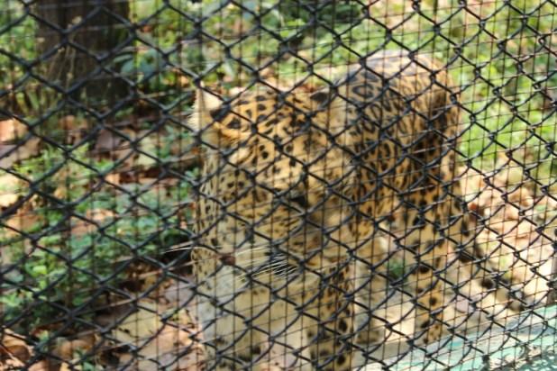 Masli dear park leopard